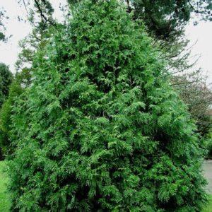 Thujopsis dolabrata - Vrtnarstvo Breskvar