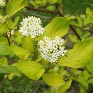 Cornus alba 'Aurea' - Vrtnarstvo Breskvar