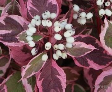 Cornus alba 'Sibiririca Variegata' jesen - Vrtnarstvo Breskvar