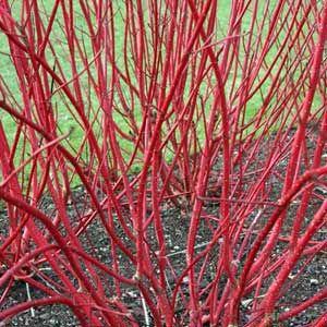 Cornus alba 'Sibiririca Variegata' zima - Vrtnarstvo Breskvar