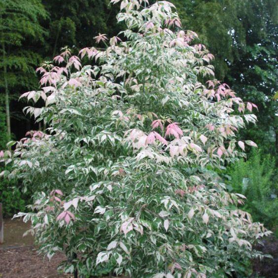 Acer negundo 'Flamingo' - Vrtnarstvo Breskvar