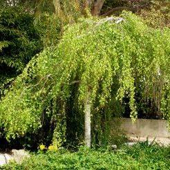 Betula pendula Youngii - Vrtnarstvo Breskvar