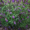 Buddleja 'Empire Blue' - Vrtnarstvo Breskvar