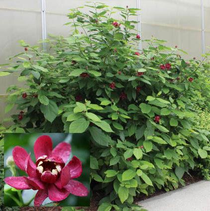 Calycanthus floridus 'Aphrodite' - Vrtnarstvo Breskvar