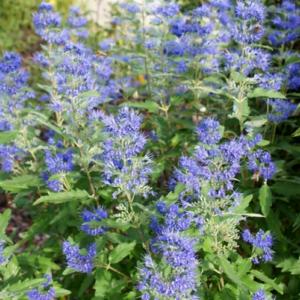 Caryopteris x clandonensis 'Blue-Balloon' - Vrtnarstvo Breskvar