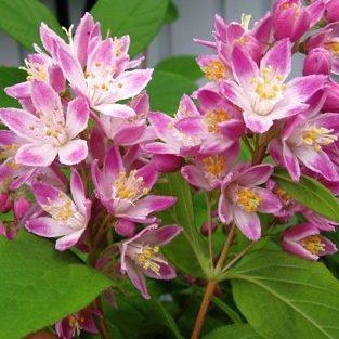 Deutzia 'Strawbery Fields' - Vrtnarstvo Breskvar