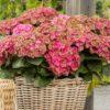 Hydrangea macrophylla 'Rembrandt Rosso Glory' - Vrtnarstvo Breskvar