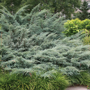 Juniperus virginiana 'Grey Owl' - Vrtnarstvo Breskvar