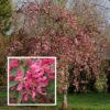 Malus Cheal's Weeping - Vrtnarstvo Breskvar