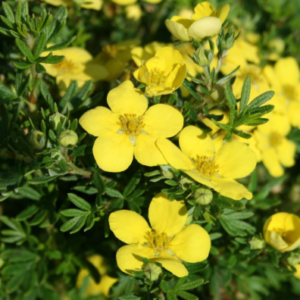 Potentilla fruticosa 'Goldteppich' - Vrtnarstvo Breskvar