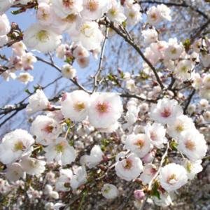 Prunus Hally Jolivette - Vrtnarstvo Breskvar