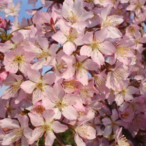 Prunus kurilensis Ruby (Brilliant Rosea) - Vrtnarstvo Breskvar