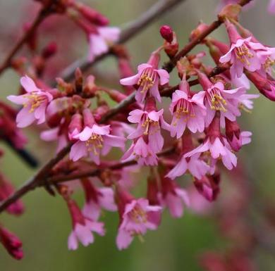 Prunus Okame - Vrtnarstvo Breskvar