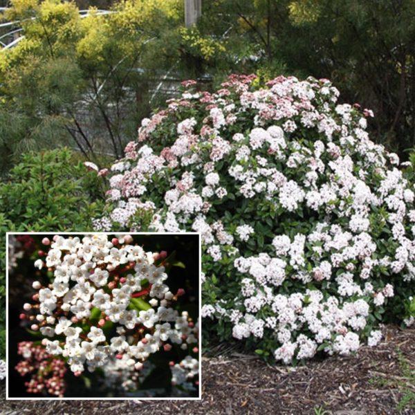 Viburnum tinus 'Anvi' - Vrtnarstvo Breskvar