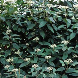 Viburnum × rhytidophylloides 'Willowwood' - Vrtnarstvo Breskvar