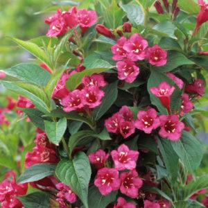 Weigela florida 'Bristol Ruby' - Vrtnarstvo Breskvar