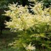 Sophora japonica 'Flaviramea' - Vrtnarstvo Breskvar