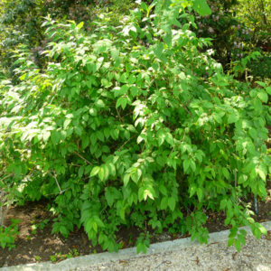 Abeliophyllum distichum - Vrtnarstvo Breskvar