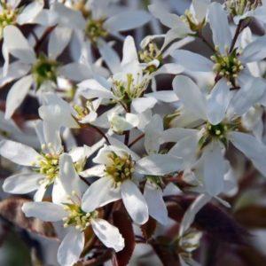 Amelanchier laevis Ballerina cvet - Vrtnarstvo Breskvar