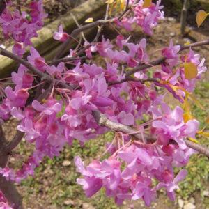 Cercis Canadensis 'Rising Sun' - Vrtnarstvo Breskvar