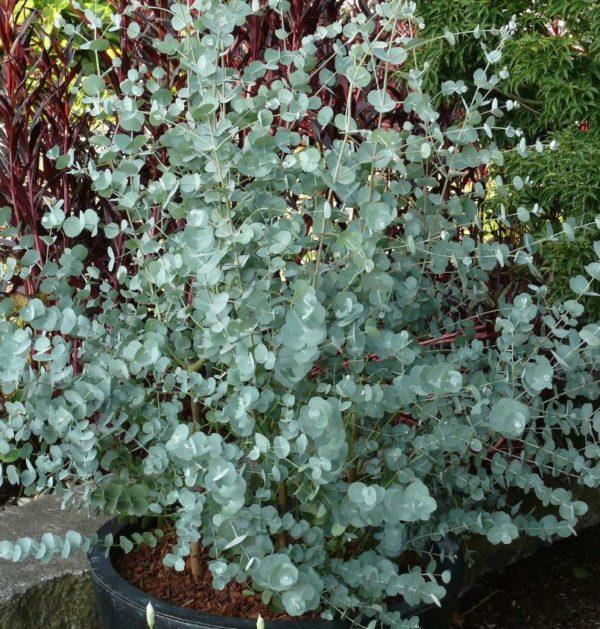 Eucalyptus Gunnii Azura - Vrtnarstvo Breskvar