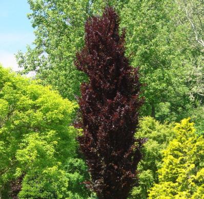 Fagus sylvatica Dawyck Purple - Vrtnarstvo Breskvar