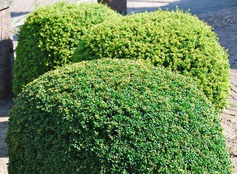 Ilex crenata Convexa - Vrtnarstvo Breskvar