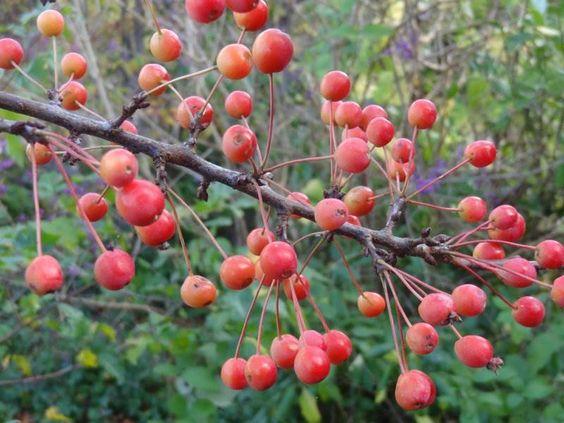 Malus Adirondack- Vrtnarstvo Breskvar