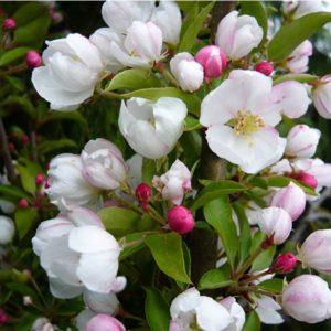 Malus Admiration - Vrtnarstvo Breskvar