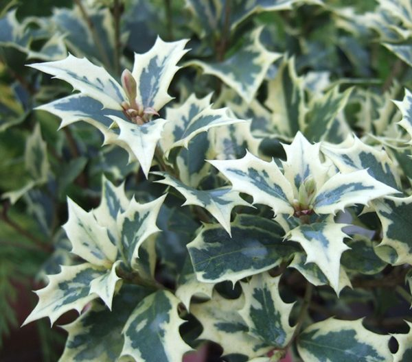 Osmanthus Heterophyllus Variegatus - Vrtnarstvo Breskvar