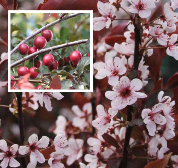 Prunus x cistena - Vrtnarstvo Breskvar