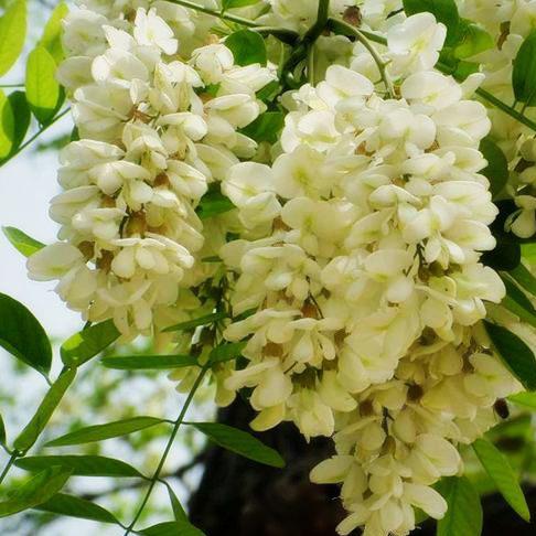 "Styphnolobium japonicum ""Flaviramea"""