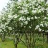 Syringa vulgaris 'Mme. Lemoine' - Vrtnarstvo Breskvar