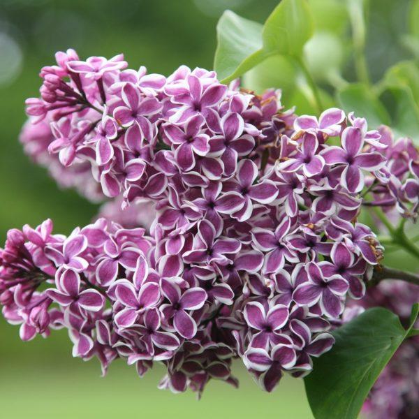 Syringa vulgaris 'Sensation' - Vrtnarstvo Breskvar