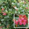 Escalonia Rubra - Vrtnarstvo Breskvar