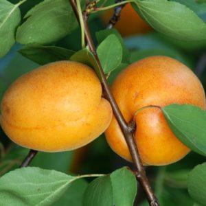 Prunus armeniaca 'Ungarische Beste' - Vrtnarstvo Breskvar