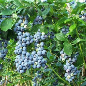 Vaccinium corimbosum 'Jersey' - Vrtnarstvo Breskvar