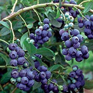 Vaccinium Corymbosum 'Grover' - Vrtnarstvo Breskvar