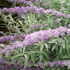 Buddleja alternifolia - Vrtnarstvo Breskvar