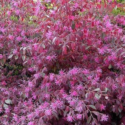 Loropetalum chinensis var. Rubrum Fire Dance - Vrtnarstvo Breskvar