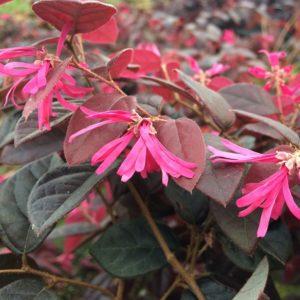 Loropetalum chinense var rubrum 'Fire Dance' - Vrtnarstvo Breskvar