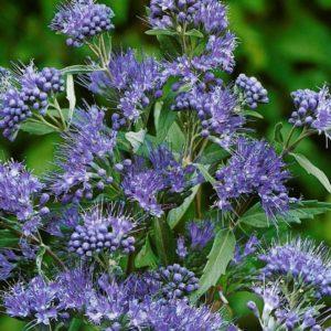 Caryopteris clandonensis 'Thetis' - Vrtnarstvo Breskvar