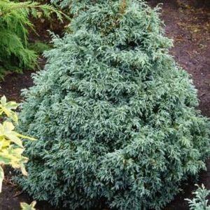 Chamaecyparis pisifera Blue moon - Vrtnarstvo Breskvar
