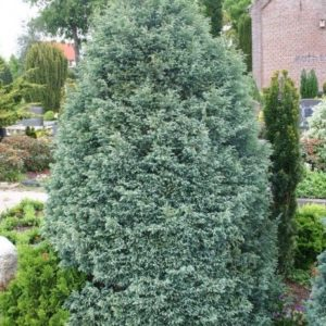 Chamaecyparis pisifera 'Boulevard' - Vrtnarstvo Breskvar