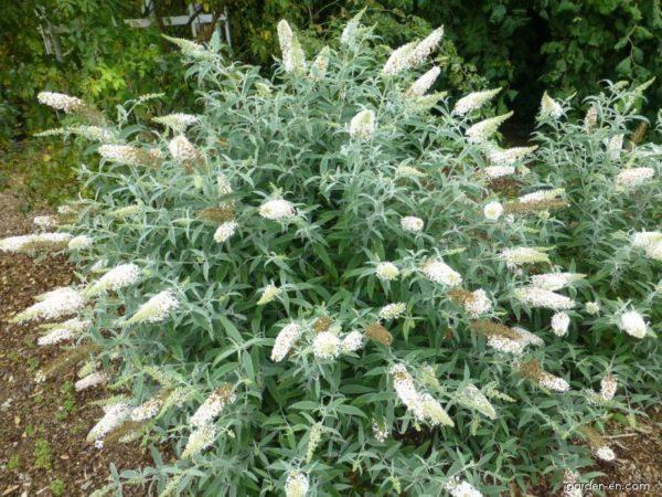 Buddleja davidii White Ball - Vrtnarstvo Breskvar
