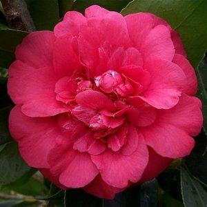 Camellia japonica Cassandra - Vrtnarstvo Breskvar