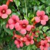 Campsis radicans 'Flamenco' - Vrtnarstvo Breskvar