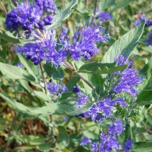 Caryopteris clandonensis 'Ferndown' - Vrtnarstvo Breskvar