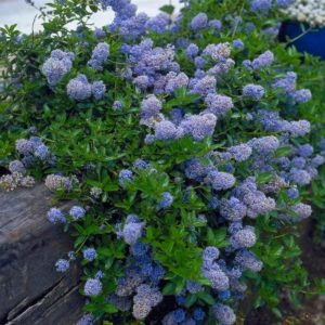 Ceanothus thyrsiflorus repens - Vrtnarstvo Breskvar
