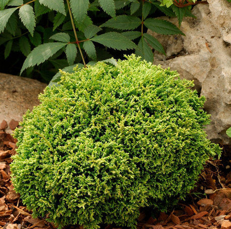 Chamacyparis pisifera 'Hime-sawara' - Vrtnarstvo Breskvar